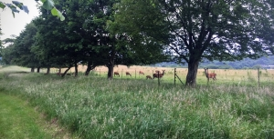 KillarneyGuide.ie Deer in Knockreer