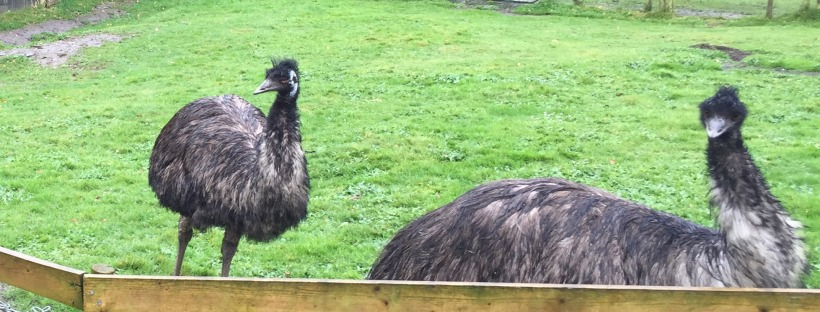 KillarneyGuide.ie Coolwood Emus